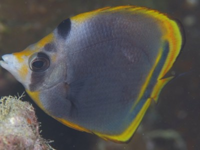 IUCN Red List ~Black Butterflyfish~